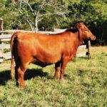 Greg Clayton Pregnant Heifer