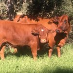 JJ Norval Cow & Calf