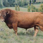 James Miller- South Devon Bull