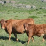 James Miller South Devon Cow & Calf