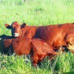 Justin Stirk 2 Cow & Calf