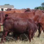 Justin Stirk Cow & Calf