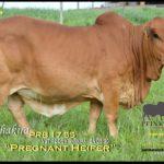 Keith Peinke Boran Heifer