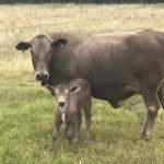 Leard King Tuli Cow & Calf