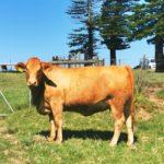 Lex Webster Pregnant Heifer