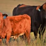 Mark Cockin Brangus Cow & Calf