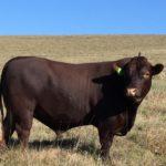 Morne Cloete- Sussex Bull