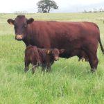 Morne Cloete Sussex Cow & Calf
