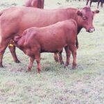 Shaun Thompson Bonsmara Cow & Calf
