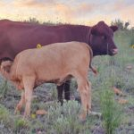 Steve Mains-Sheard Tuli Cow and Calf