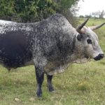 Vernon Sparks- Nguni Bull