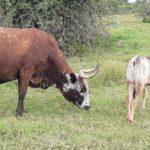 Vernon Sparks Nguni Cow & Calf