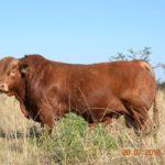 Wade Bailey- Beefmaster Bull